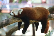 A red panda rests on a tree limb with its arms, legs and tail dangling over the sides