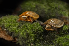 Two newly hatched Bourret's box turtles sitting on moss