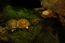Two newly hatched Bourret's box turtles and an adult box turtle sitting on moss