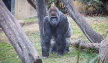 Western lowland gorilla Baraka stands in the grass of his outdoor habitat, surrounded by logs.