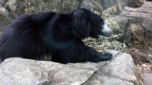 Sloth bear Niko on exhibit at Asia Trail.