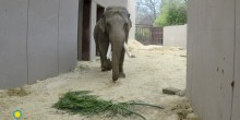 Asian elephant Spike enjoys some browse in his yard.