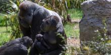 Western lowland gorillas Calaya and Moke (center) with Kibibi (foreground) and Baraka (background).