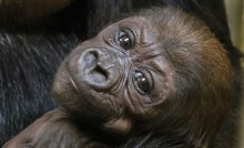 One month old western lowland gorilla Moke.