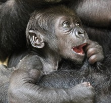 Western lowland gorilla infant Moke at 5 months old.