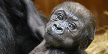 Western lowland gorilla Moke is six weeks old.