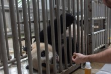 Giant panda Mei Xiang receives treats while participating in a voluntary ultrasound.
