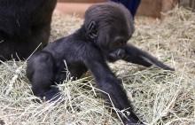 Three-month-old western lowland gorilla Moke attempts to walk.