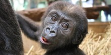 Western lowland gorilla Moke is 18 weeks old.
