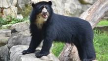 Andean Bear Beorn