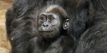 5-month-old western lowland gorilla Moke