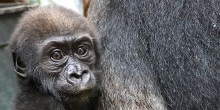 Western lowland gorilla Moke at 23 weeks old.
