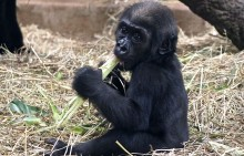 5-month-old western lowland gorilla Moke sits in a pile of hay and eats leafy greens