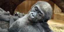 Western lowland gorilla infant Moke at 6 months.