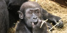 Gorilla Moke at 7 months old.