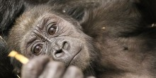 8-month-old western lowland gorilla Moke