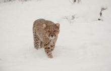 A cheetah walking through snow toward the camera