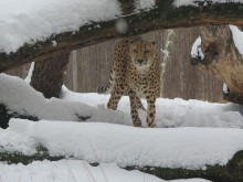 A cheetah stands in the snow beneath a log