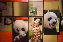 A child looks at the new exhibit panels inside the Smithsonian's National Zoo's Panda House during the Giant Panda Housewarming Celebration