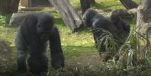 Moke, Calaya and Baraka explore the outdoor yard at the Great Ape House.