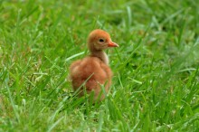 A hooded crane chick in the grass.