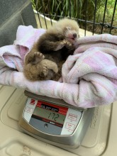 Red panda cub being weighed.