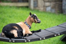 A goat rests on a small bridge in the grassy yard of the Kids' Farm exhibit at the Smithsonian's National Zoo