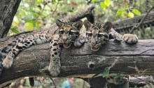 Two clouded leopard cubs with large paws and thick spotted fur rest together on a large tree limb