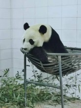 Bei Bei in his hammock at the Bifengxia Panda Base.