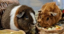 Guinea pigs Imilla and Miski eating