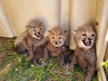 Three cheetah cubs sit in the grass beside their den