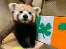 Red panda Asa with St. Patrick's Day enrichment.