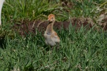 A female white-naped crane chick hatched April 2, 2020 to parents Brenda and Eddie.