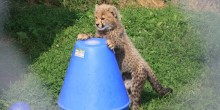 Three-month-old cheetah cub at the Smithsonian Conservation Biology Institute plays with an enrichment toy.