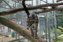 Clouded leopard Ariel stands on a tree branch in her outdoor enclosure.