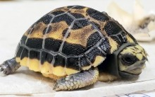 This spider tortoise hatched July 5, 2020, at the Reptile Discovery Center.