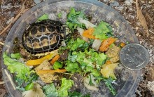 A 'surprise' spider tortoise hatched at the Reptile Discovery Center July 5.