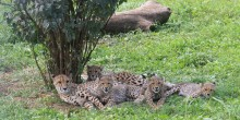 Cheetah Echo and her 4-month-old cubs at the Smithsonian Conservation Biology Institute.