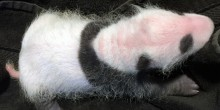 A close up photo of the 3-week-old giant panda cub.