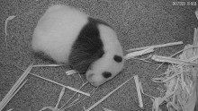 A close-up from the live Panda Cam of a 3-week-old giant panda cub resting on the floor of its den