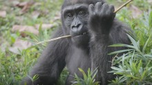 Western lowland gorilla Moke chews on some browse in the Great Ape House outdoor yard.
