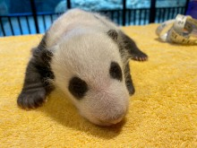 The Smithsonian's National Zoo's giant panda cub is one month old today, Sept. 21!