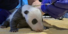 Zoo veterinarians measure the Zoo's 29-day-old giant panda cub Sept. 19, 2020.
