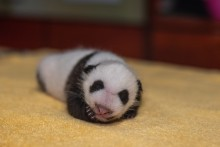 A 1-month-old giant panda cub with black-and-white markings, a thin layer of fur and small claws lays on a towel with its head resting on its paw