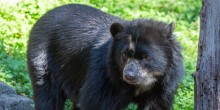 Andean bear Brienne on exhibit.