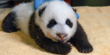 Giant panda cub during its keeper exam Oct. 14, 2020.