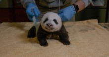 A small giant panda cub with a light layer of black-and-white fur, little ears and small claws rests on a yellow towel while a veterinarian uses a measuring tape to measure its roundness