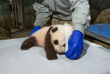 A young giant panda cub with black-and-white fur, round ears and small claws rests on a towel while keepers take his measurements.