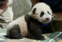 The Zoo's 3-month-old giant panda cub during a vet exam Nov. 18, 2020.