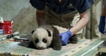 A young giant panda cub with black-and-white fur, round ears and small claws rests lays on a table as a veterinarian exams him with a stethoscope during a routine exam.